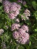 Floraciones de Spirea fotografía de archivo libre de regalías