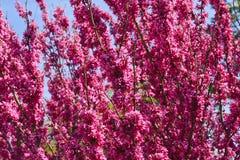 Floraciones del árbol de Redbud Fotos de archivo libres de regalías