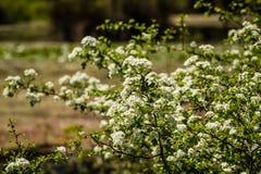Floraciones del árbol frutal, flores blancas en primavera imágenes de archivo libres de regalías