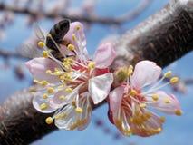 Floración del albaricoque Fotos de archivo