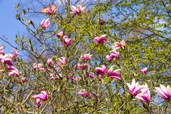 Floraciones del arbusto de la magnolia imagen de archivo