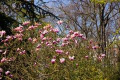 Floraciones del arbusto de la magnolia foto de archivo libre de regalías
