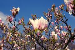 Floraciones del arbusto de la magnolia foto de archivo
