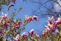 Floraciones del arbusto de la magnolia fotos de archivo