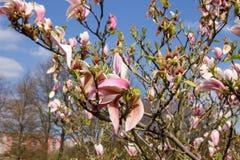 Floraciones del arbusto de la magnolia fotografía de archivo
