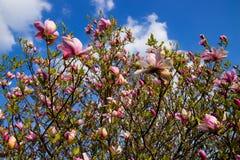 Floraciones del arbusto de la magnolia imágenes de archivo libres de regalías