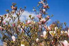Floraciones del arbusto de la magnolia fotografía de archivo libre de regalías