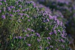 Floraciones del arbusto del orégano Imagen de archivo libre de regalías