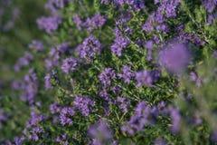 Floraciones del arbusto del orégano fotos de archivo libres de regalías