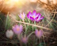 Floraciones del azafrán de la primavera fotos de archivo