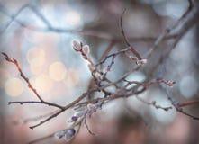 Floraciones del azafrán de la primavera fotografía de archivo libre de regalías