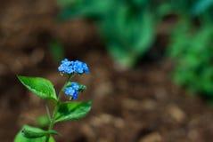 Floraciones del Bugloss Foto de archivo libre de regalías