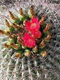 Floraciones del cactus fotografía de archivo libre de regalías