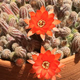 Floraciones del cactus del cacahuete Foto de archivo libre de regalías