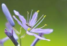 Floraciones del Camassia en los jardines de Italianate Imágenes de archivo libres de regalías