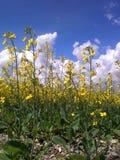 Floraciones del Canola Fotos de archivo