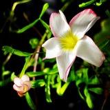 Floraciones del caramelo de algodón Imágenes de archivo libres de regalías
