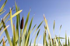 Floraciones del Cattail contra el cielo azul fotografía de archivo libre de regalías