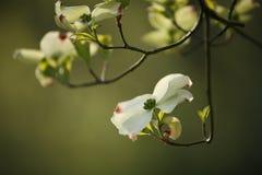 Floraciones del cornejo Foto de archivo libre de regalías