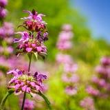 Floraciones del desierto de Monarda imagenes de archivo