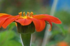 Floraciones del girasol mexicano en la isla de Hawaii imagen de archivo