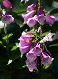 Floraciones del guante del Fox Foto de archivo