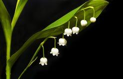 Floraciones del lirio. Foto de archivo libre de regalías