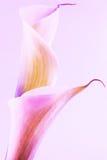 Floraciones del lirio Fotos de archivo