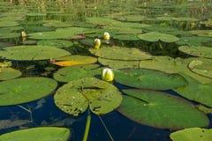 Floraciones del lirio de agua foto de archivo libre de regalías