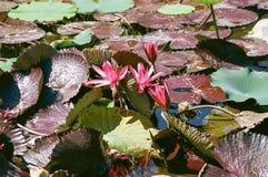 Floraciones del lirio de agua Imagen de archivo libre de regalías