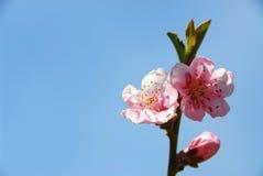 Floraciones del melocotón Fotos de archivo