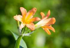 Floraciones del miniata de Clivia Imagenes de archivo