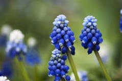 Floraciones del Muscari Fotos de archivo