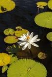 Floraciones del Nymphaea del lirio de agua blanca Imagenes de archivo