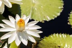 Floraciones del Nymphaea del lirio de agua blanca Imagen de archivo libre de regalías