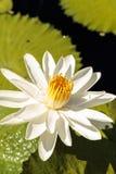 Floraciones del Nymphaea del lirio de agua blanca Fotografía de archivo