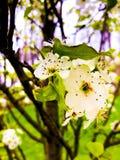 Floraciones del peral fotografía de archivo libre de regalías