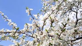 Floraciones del peral