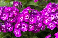 Floraciones del Phlox Imágenes de archivo libres de regalías