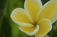 Floraciones del Plumeria imágenes de archivo libres de regalías