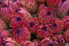 Floraciones del protea de rey imagen de archivo libre de regalías