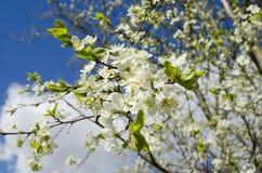 Floraciones del ?rbol en primavera ?rbol floreciente contra el cielo azul Fondo del resorte imágenes de archivo libres de regalías