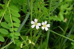 Floraciones del Stellaria lat Stellaria Imagen de archivo libre de regalías