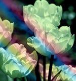 Floraciones del tulipán con sus pétalos delicados El color verde luminoso añadido crea un efecto que brilla intensamente Foto de archivo libre de regalías