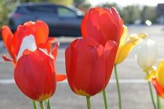 Floraciones del tulip?n en la primavera fotos de archivo libres de regalías