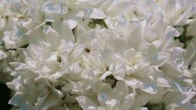 Floraciones fragantes blancas de la planta de la cereza salvaje metrajes