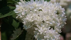 Floraciones fragantes blancas de la planta de la cereza salvaje almacen de video