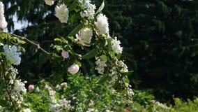 Floraciones fragantes blancas de la planta de la cereza salvaje almacen de metraje de vídeo