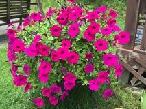 Floraciones hermosas de la petunia Fotografía de archivo libre de regalías