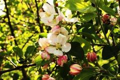 Floraciones nacionales de la manzana Fotos de archivo